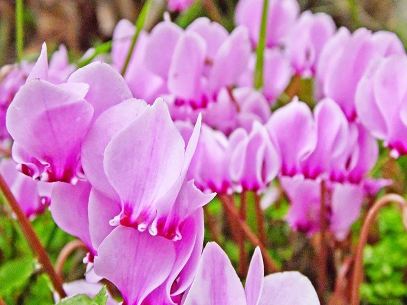 Thư viện hình ảnh hoa anh thảo đẹp