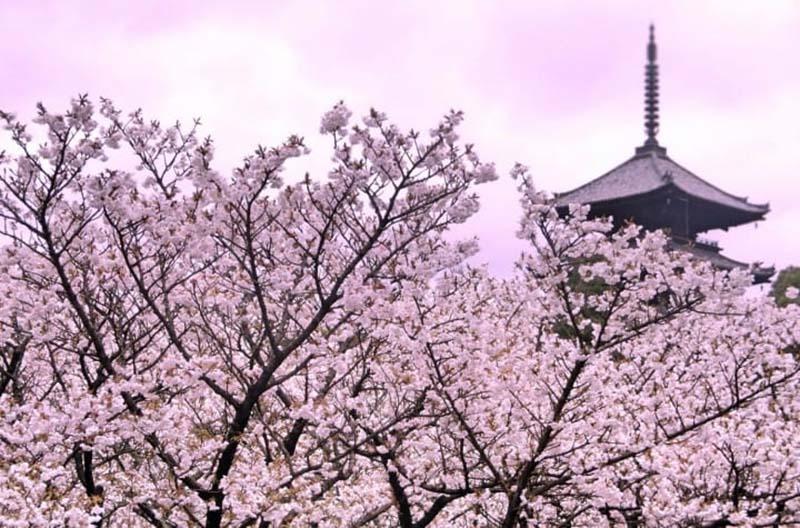 Thưởng ngoạn hoa anh đào Nhật Bản với những hình ảnh đẹp nhất