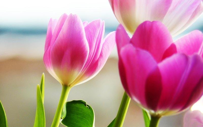 Tổng hợp những hình ảnh hoa anh Túc đẹp nhất