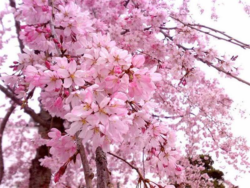 Tưng bừng lễ hội hoa anh đào Nhật Bản hình ảnh đẹp nhất