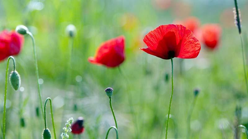 Vẻ đẹp của loài hoa anh Túc đẹp  nhất thế giới
