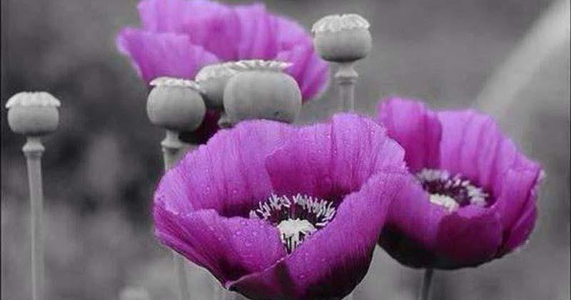 Vẻ đẹp ma mị của hoa anh túc hình ảnh đẹp  nhất