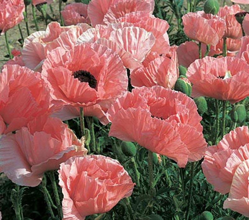 Vẻ đẹp mỏng manh của hoa anh túc