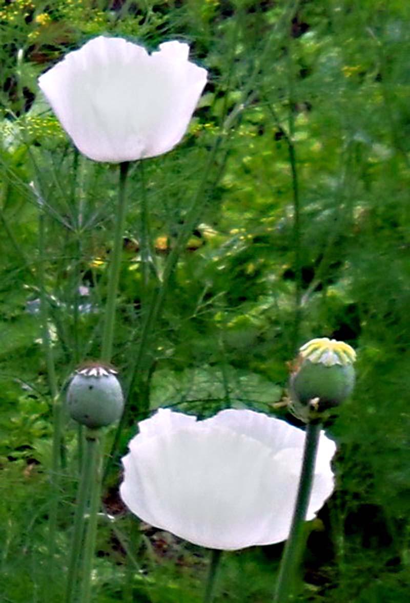 Vẻ đẹp ngỡ ngàng của hoa anh túc