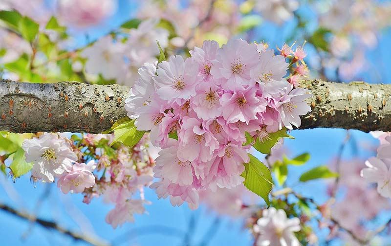 Vòng quanh thế giới ngắm hoa anh đào