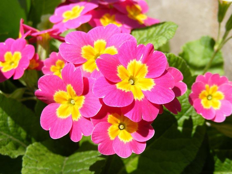 ý nghĩa đặc biệt của hoa anh thỏa Đà Lạt