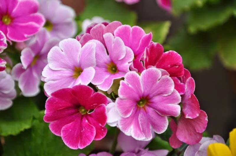 Ý nghĩa hoa anh thảo đẹp nhất