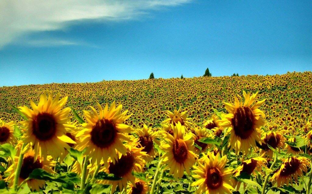 Ảnh đẹp cánh đồng hoa mùa hè