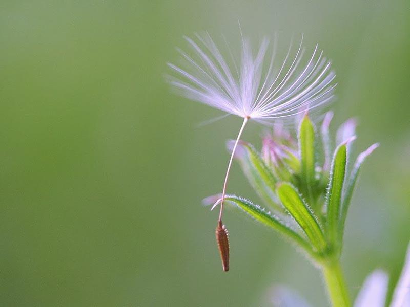 Hạt giống hoa bồ công anh đẹp nhất