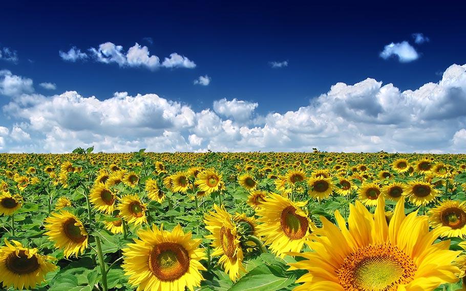 Hình ảnh cánh đồng hoa mùa hè