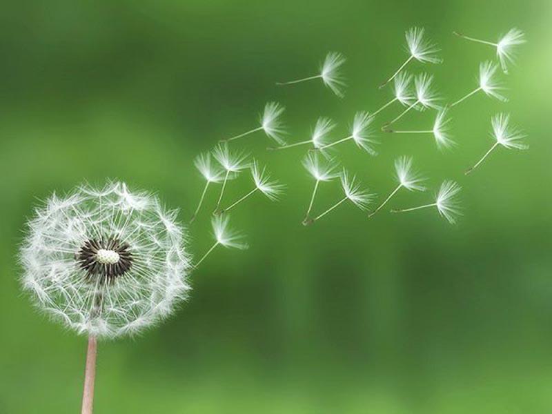Hình ảnh đẹp về hoa bồ công anh