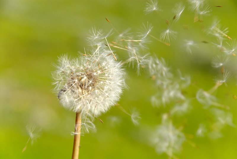 Hình ảnh hoa bồ công anh bay trong gió
