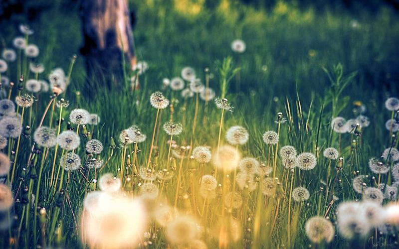Hình ảnh hoa bồ công anh đà lạt đẹp và ấn tượng nhất