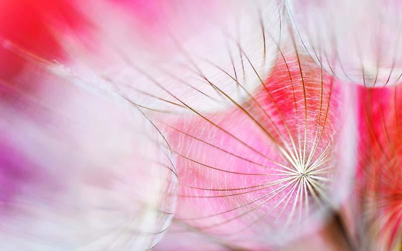 Hình ảnh hoa bồ công anh lãng mạn nhất