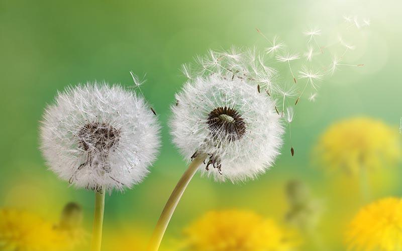 Hình ảnh hoa bồ công anh tung bay trong gió