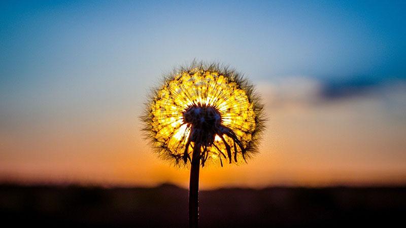 Hình ảnh hoa bồ công anh về đêm đẹp nhất