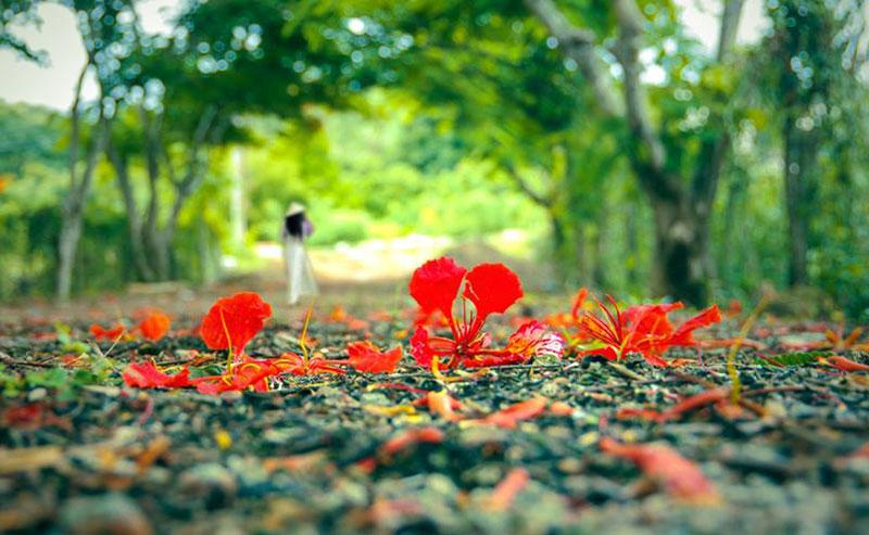 Hình ảnh hoa phượng mùa hè