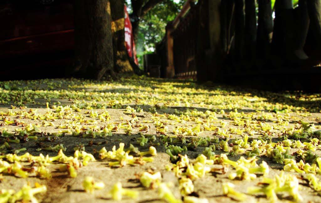 Hình ảnh hoa sữa mùa thu
