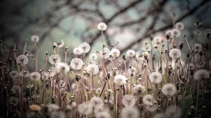 Hình nền hoa bồ công anh trong gió đẹp nhất