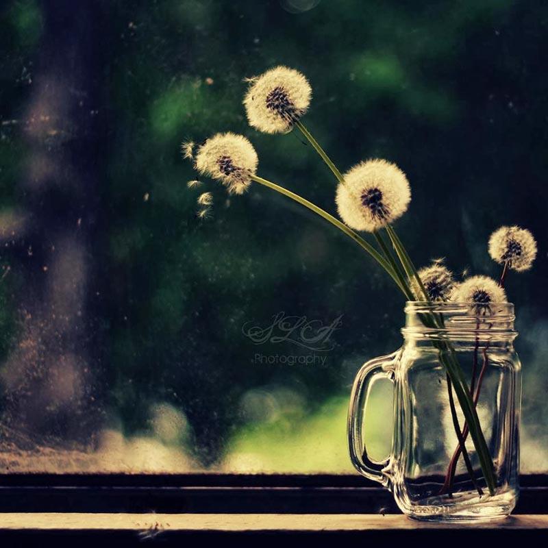 Hoa bồ công anh hình ảnh bình yên và thơ mộng nhất
