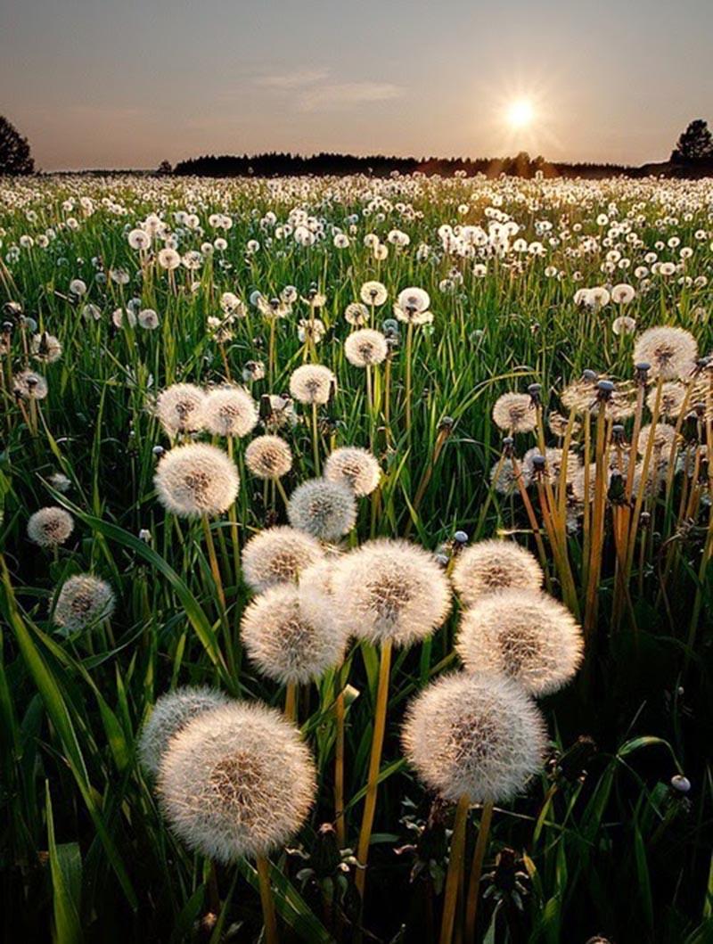 Khu vườn hoa bồ công anh đẹp và ấn tượng nhất