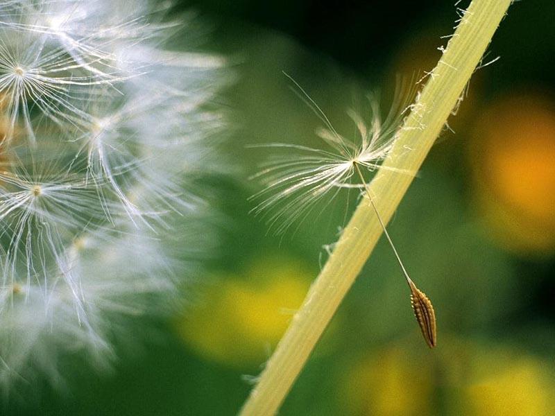 Ngắm trọn bộ hình ảnh đẹp nhất về hoa bồ công anh