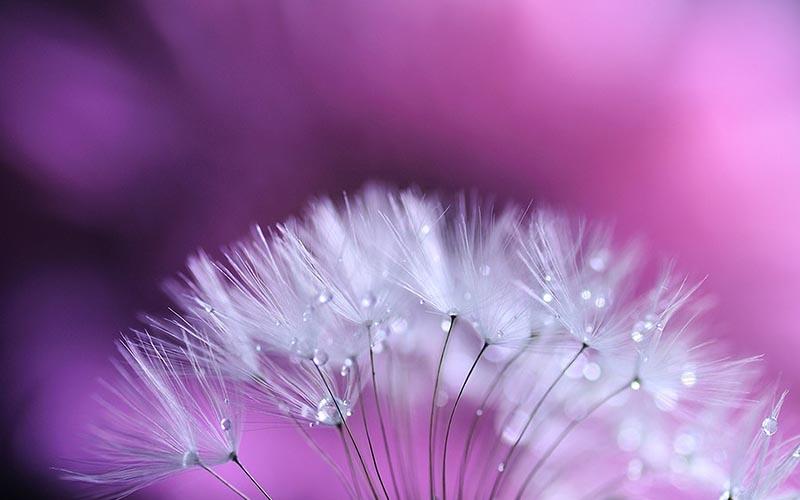 Những hình ảnh đẹp nhất về hoa bồ công anh