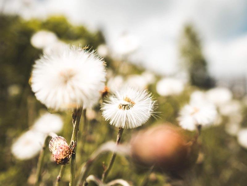 Những stt về hoa bồ công đẹp và ấn tượng nhất