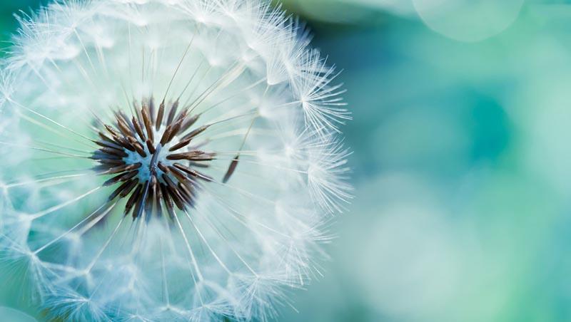 Tải hình nền hoa bồ công anh