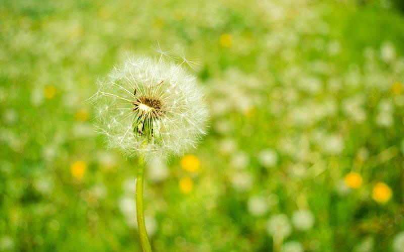 Tổng hợp những hình ảnh hoa bồ  công anh đẹp nhất