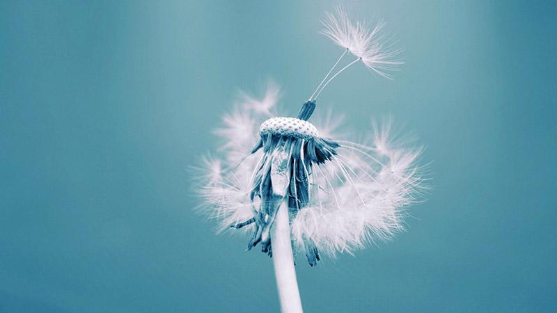 Tổng hợp những hình ảnh hoa bồ công đẹp nhất