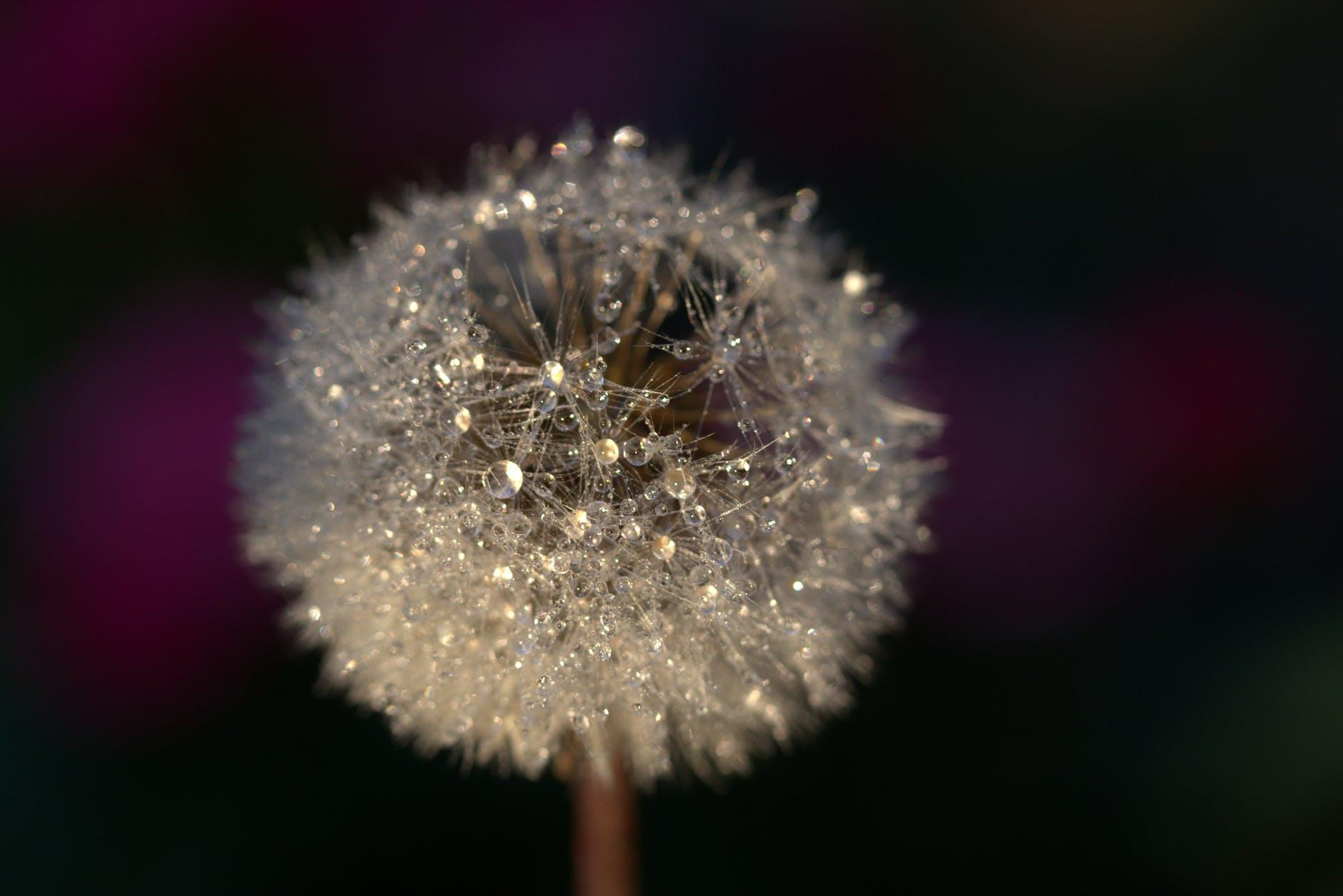 Vẻ đẹp tinh khôi, trong sáng của hoa bồ công anh