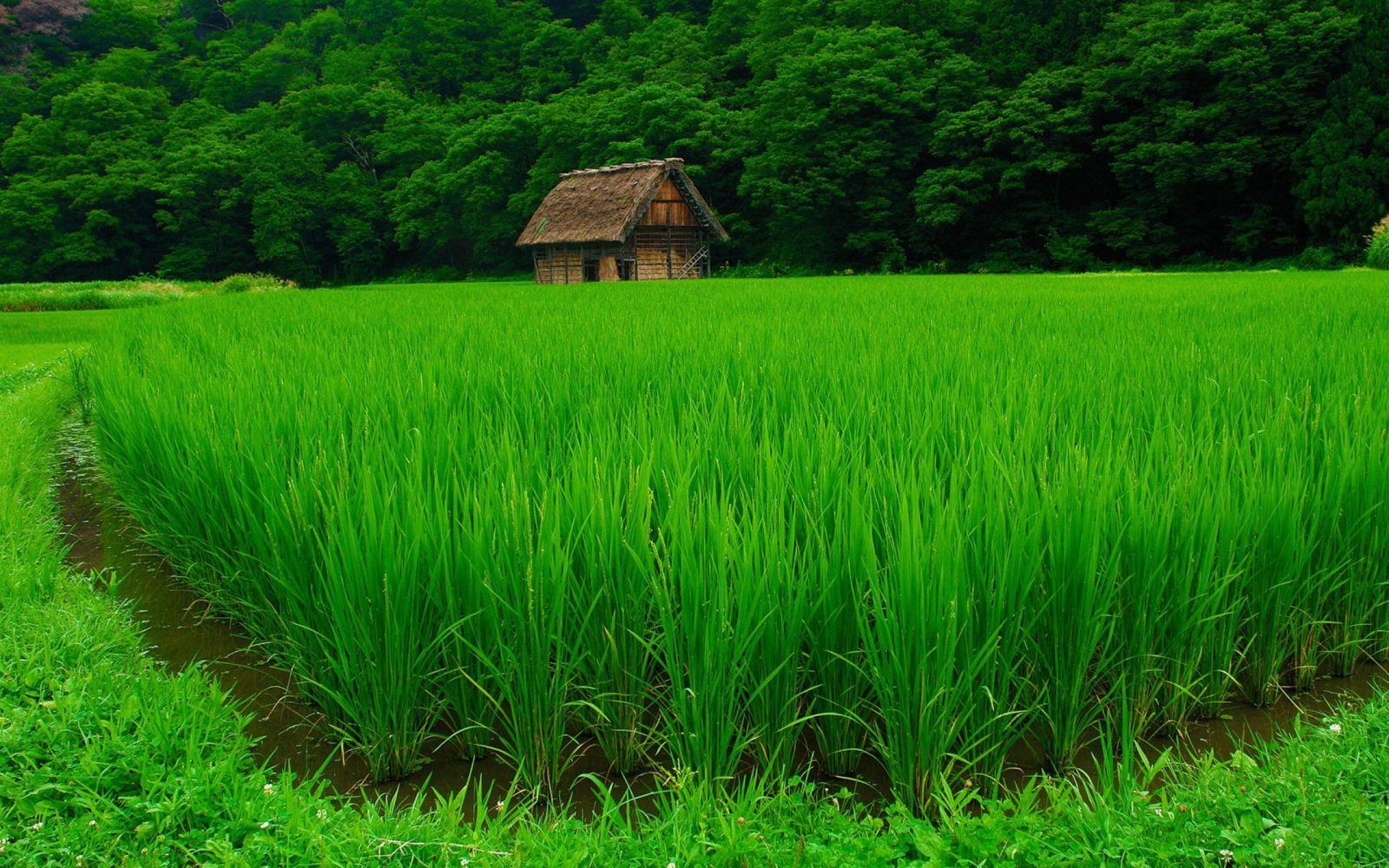 Hình nền cánh đồng màu xanh