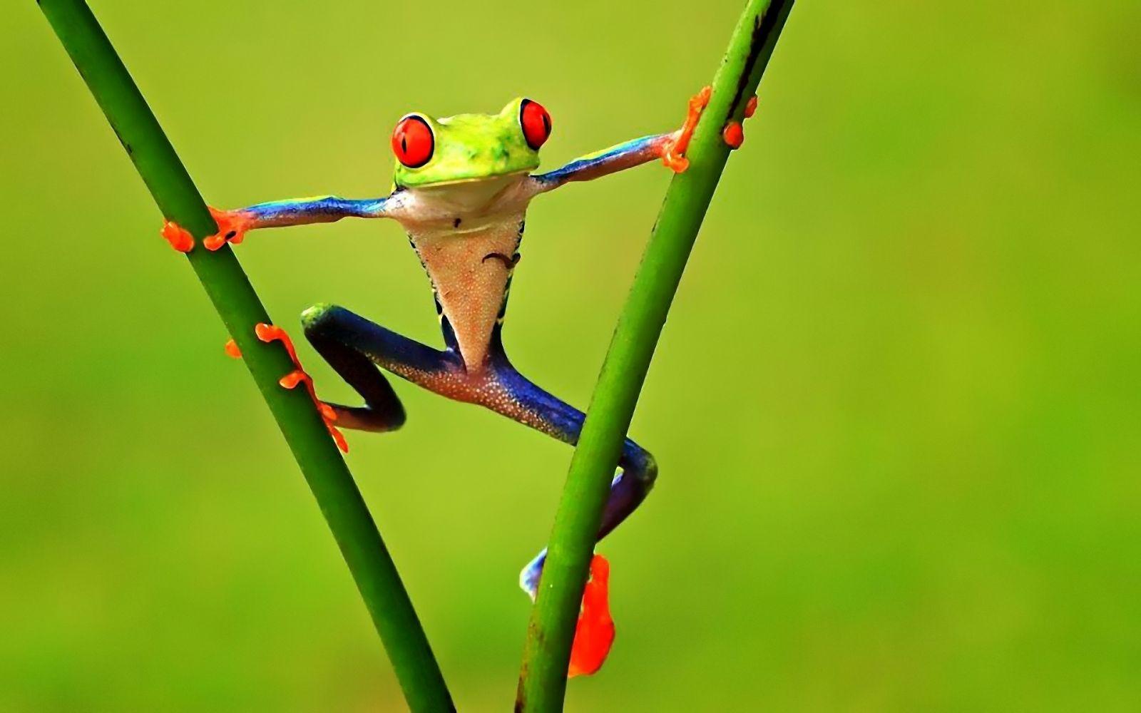 Hình nền ếch màu xanh