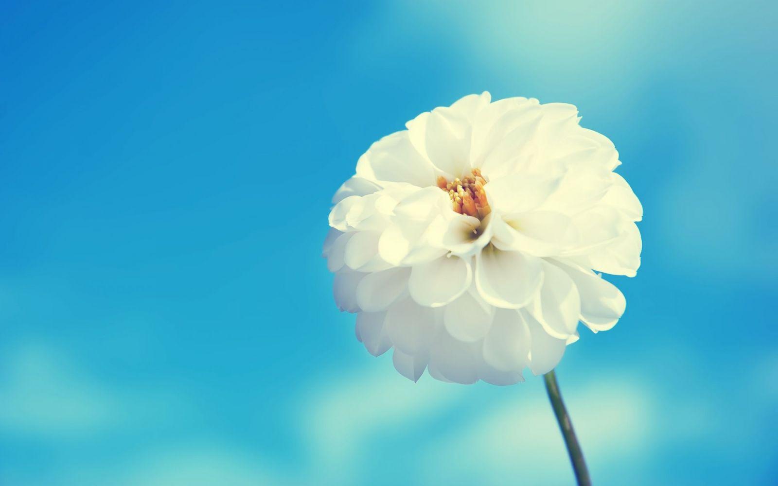 Hình nền màu xanh hoa trắng